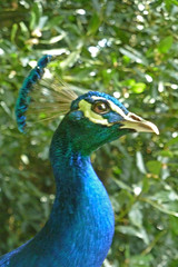 cassowary(0.0), casuariiformes(0.0), fowl(0.0), animal(1.0), peafowl(1.0), fauna(1.0), beak(1.0), bird(1.0), galliformes(1.0), wildlife(1.0),