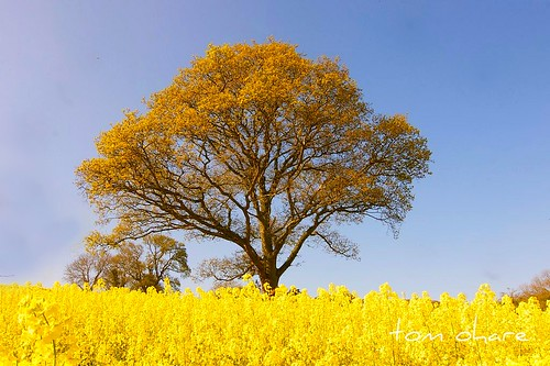 trees ireland yellow landscape crops