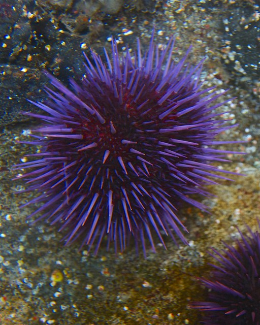 Purple Sea Urchin | Flickr - Photo Sharing!
