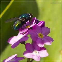Green-fly-purple