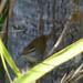 Barred_Wren_Tapanatapec_Foothills_Oaxaca_Mexico_2004_12_21_050.jpg por maholyoak