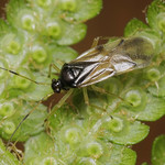 harasztpoloska - Bryocoris pteridis