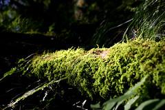 Moss at Hakone - 06