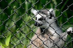Ring-tailed Lemur - 27