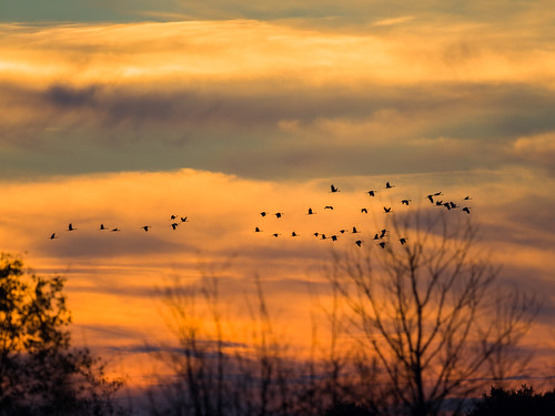 crexmeadows em1 gear gruscanadensis nature olympus olympus300mmf4 places sandhillcrane sunset wildlife wisconsin