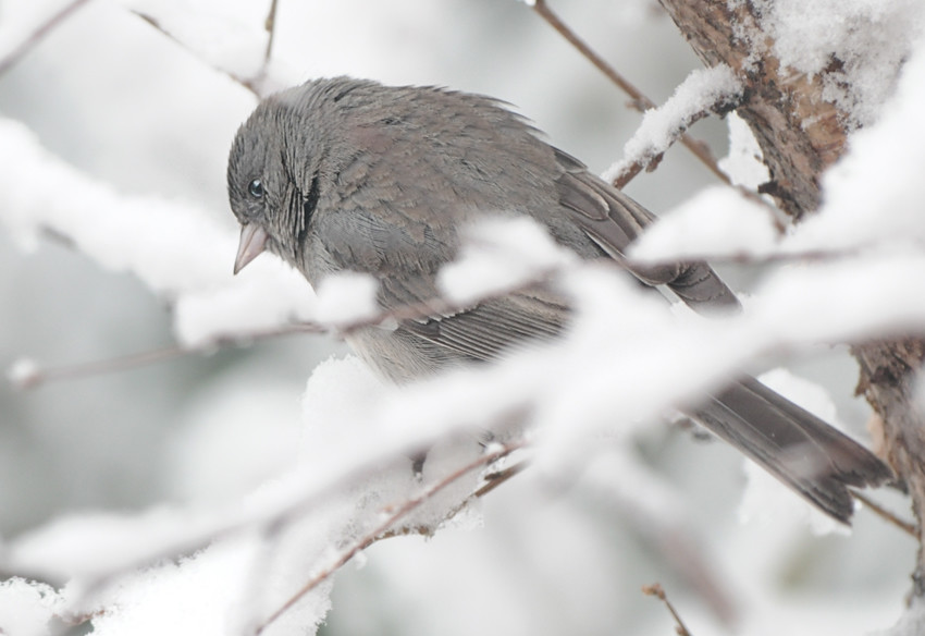 Bird in the Snowy Branches