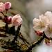 Cherry Blossom (88/365) by ~Kyla~