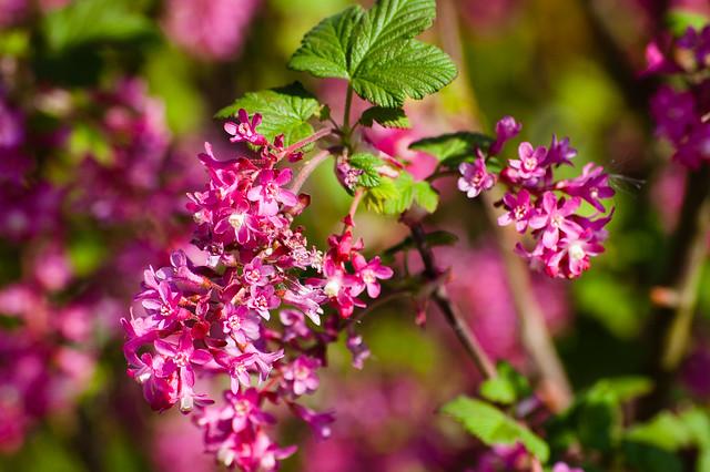 Ribes flowering