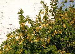 Berberis vulgaris BERBERIS Barberry