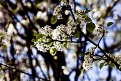 flower, branch, leaf, tree, sunlight, nature, flora, close-up, prunus spinosa, cherry blossom, spring, twig,