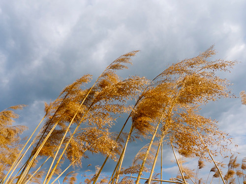 Common Reed in the Wind