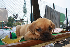dogue de bordeaux(0.0), tosa(0.0), animal(1.0), puppy(1.0), dog(1.0), puggle(1.0), pet(1.0), mammal(1.0),