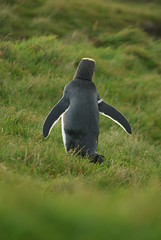 animal, penguin, flightless bird, green, fauna, king penguin, bird, wildlife,