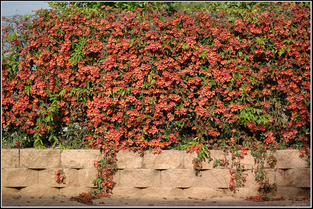 Garden Of Aaron Ripe For Discussion Vines On Walls