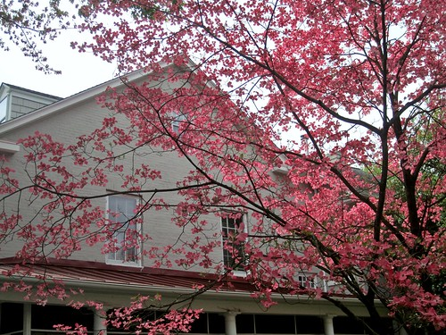 Pink dogwood in bloom, Liberty Street, Centreville, Maryland