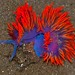 Spanish Shawl Nudibranch (Flabellina iodinea)