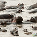 Hippos Lazing Around in Water - Serengeti, Tanzania