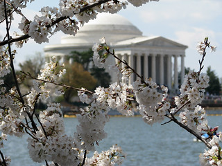 The Cherry Blossosms & The Jefferson Memorial, Washington D.C.