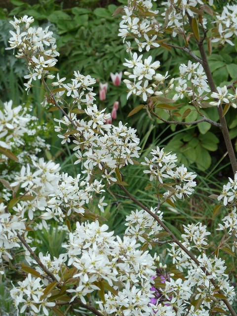 Header of Amelanchier X grandiflora