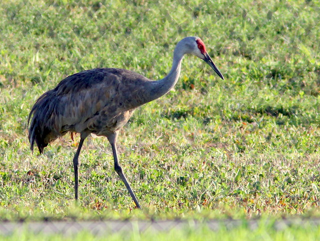 Sandhill Crane 20110411