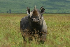 animal, prairie, grass, plain, rhinoceros, fauna, savanna, grassland, safari, wildlife,