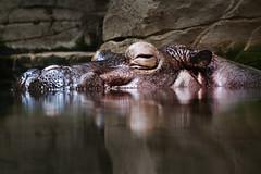Flusspferd, Zoo Hannover