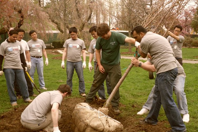 Planting a cherry tree. Photo by Kathryn Littlefield.