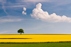 rapeseed and the tree