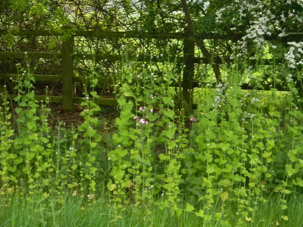 Hedge Garlic Huntingdon Circular