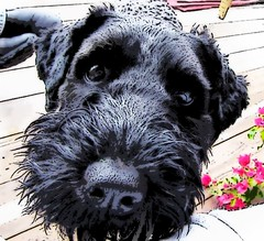 scottish terrier(0.0), dog breed(1.0), animal(1.0), dog(1.0), schnoodle(1.0), pumi(1.0), pet(1.0), glen of imaal terrier(1.0), mammal(1.0), standard schnauzer(1.0), schnauzer(1.0), bouvier des flandres(1.0), miniature schnauzer(1.0), terrier(1.0),