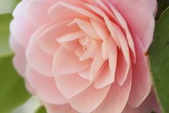 Camellia called