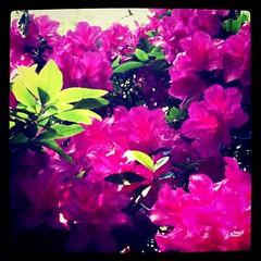 shrub, flower, purple, plant, lilac, pink, petal, azalea,