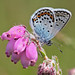 Silver-studded Blue ♂ by Ger Bosma