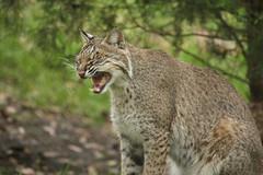 lynx(0.0), puma(0.0), animal(1.0), small to medium-sized cats(1.0), mammal(1.0), fauna(1.0), wild cat(1.0), whiskers(1.0), bobcat(1.0), wildlife(1.0),