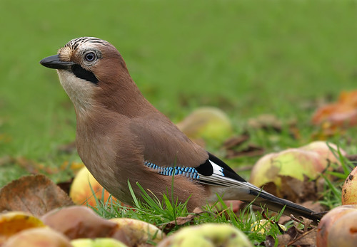 A Jay amongst the fallen apples