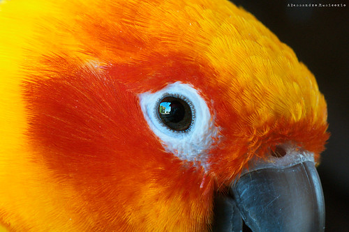 Sun conure, Rudy\'s Portrait