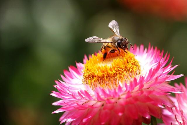 Bee [Canon 1000D XS][Canon 55-250 IS][Explore][Explored][Raynox DCR 150][Mahabaleshwar]