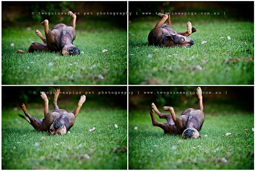 Zac's world  by twoguinepaigs pet photography