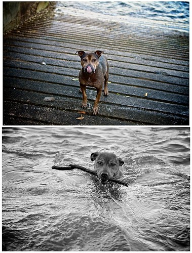 Water dog by twoguinepaigs pet photography
