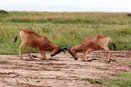Fighting Hartebeest