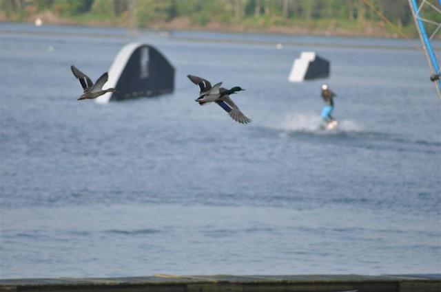 Patos volando y una persona haciendo sky acuático en el lago, algo muy popular aquí Willen Lake de Milton Keynes, más que un lago ... un estilo de vida - 5640440737 41c7920114 z - Willen Lake de Milton Keynes, más que un lago … un estilo de vida
