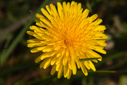 Dandelion with tiny insects