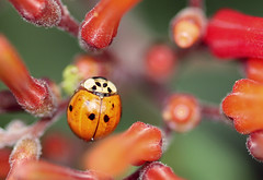 ladybird, red, invertebrate, insect, macro photography, close-up, beetle,