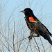 New World Blackbirds and Orioles - Photo (c) Geoff Gallice, some rights reserved (CC BY)