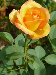 Hoa Hồng Rosa Rosaceae