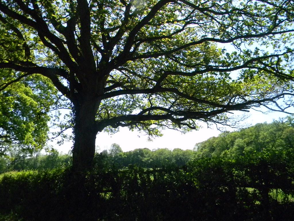 Tree over hedge Ockley to Warnham