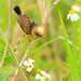 Meadow fairies - III