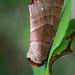 Datana - Photo (c) kim fleming, algunos derechos reservados (CC BY-NC-SA)