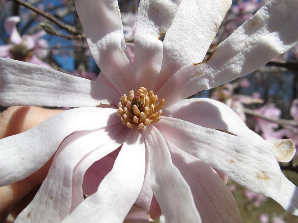 Magnolia stellata 'Pink Starburst' 3