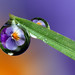 Viola flower dewdrop refraction #2